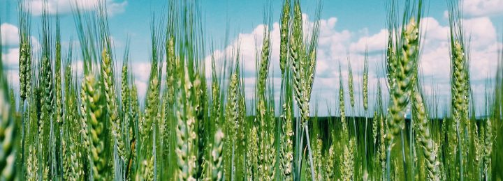 nature-field-cloud-cloud-sky-sky-sky-blue-summer-green-green-green-crop-crop-wheat-wheat-plants_t20_L1rYZ7